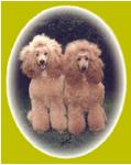 Standard, miniature, dwarf poodel von der Herbordsburg